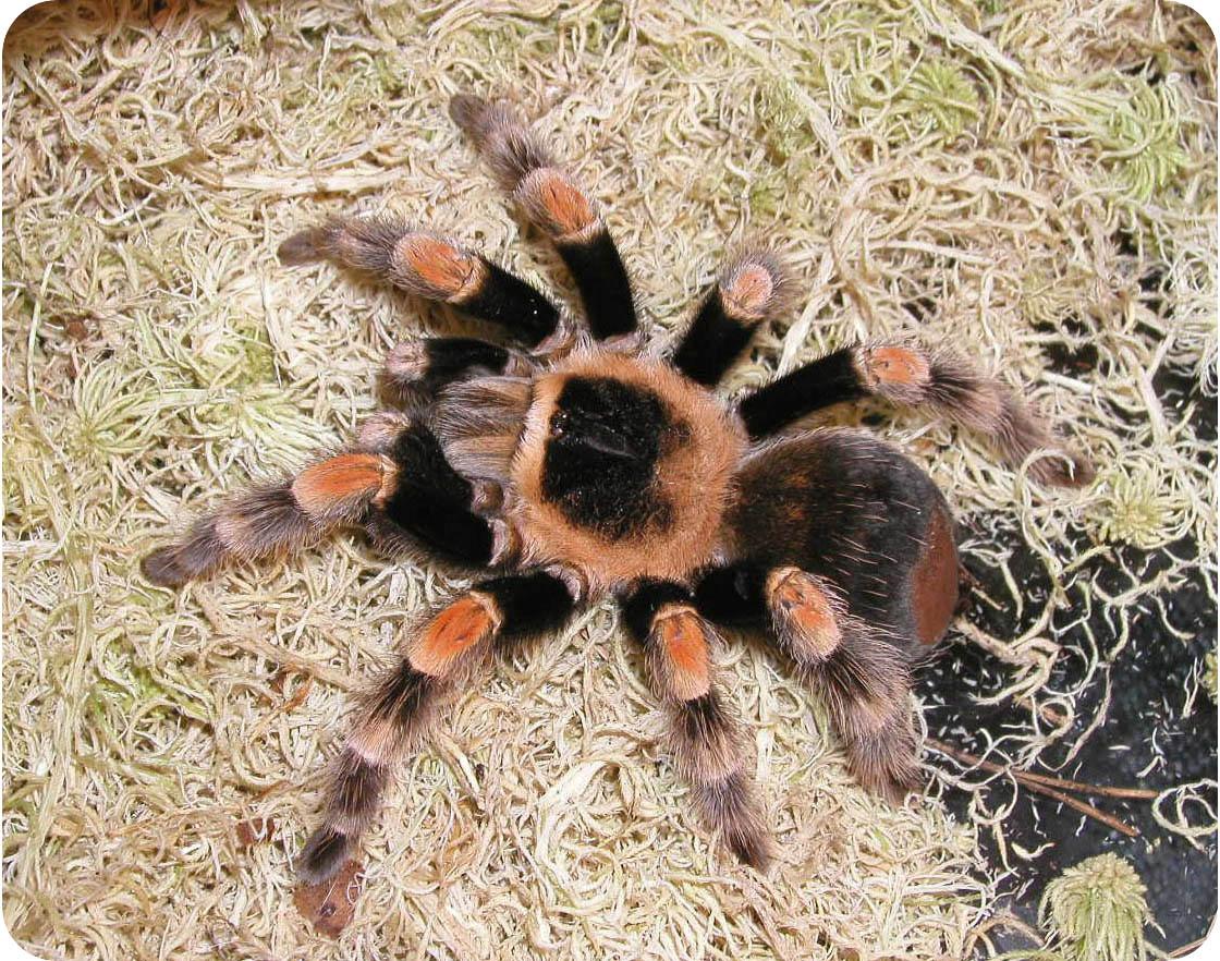 Tarantula spider poisonous